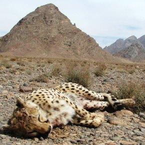The Cheetah inIran